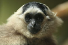 Pileated gibbon Arkivbild