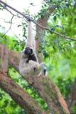 Pileated gibbon Arkivfoton