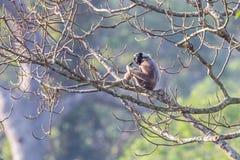 Pileated gibbon Arkivfoto