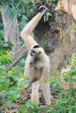 Pileated Gibbon Hylobates pileatus Obrazy Royalty Free