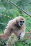 Pileated Gibbon Hylobates pileatus Obrazy Stock