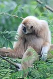 Pileated Gibbon Hylobates pileatus Obraz Royalty Free