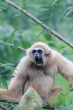 Pileated Gibbon Hylobates pileatus Zdjęcie Royalty Free