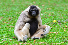 Pileated gibbon (Hylobates pileatus). Pileated gibbon or Crowned gibbon (Hylobates pileatus) sit on grass field Stock Photography