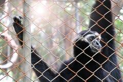 Pileated-Gibbon im Zoo Lizenzfreie Stockfotos