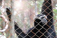 Free Pileated Gibbon In The Zoo Royalty Free Stock Photos - 103111128