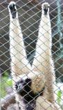 Pileated Gibbon kvinnlig till och med baluster. Fotografering för Bildbyråer