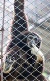 Pileated Gibbon man till och med baluster. Arkivbild