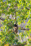Pileated gibbon. Portrait of Very rare and Endangered species (EN in IUCN Red List of Threatened Species) Pileated gibbon (Hylobates pileatus) in nature at Stock Photos