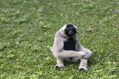 Pileated gibbon Stock Photo