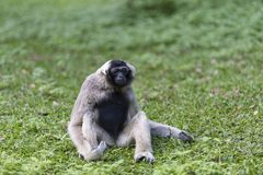 Pileated gibbon Royalty Free Stock Images