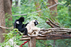 Pileated gibbon. In the zoo Royalty Free Stock Images