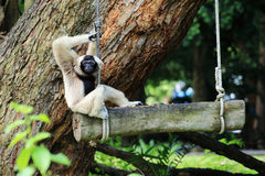 Pileated gibbon in zoo Royalty Free Stock Photography