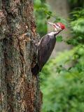 Pileated pileatus Dryocopus woodpecker клюет на Стоковые Изображения RF
