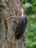 Pileated pileatus Dryocopus woodpecker клюет на Стоковые Фотографии RF