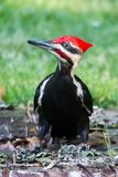 A pileated specht stock foto