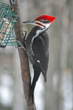 Pileated Specht lizenzfreie stockfotos