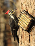 Pileated Specht stockfoto