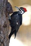 Pileated Specht (Dryocopus pileatus) Lizenzfreie Stockfotografie