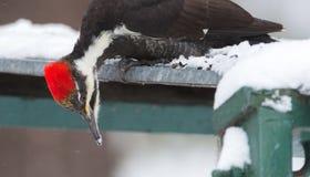 Pileated-Specht Dryocopus-pileatus Großer Schwarzspecht mit roter Krone, Länder auf einer Fütterungsplattform im Waldland schneie Lizenzfreies Stockbild