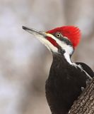 Pileated Specht-Mannesportrait Stockbild