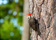 Free Pileated Wood Pecker `  Dryocopus Pileatus ` Royalty Free Stock Photos - 188464098
