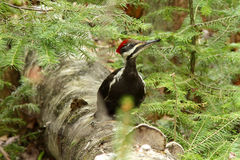 Pileated woodpecker Royalty Free Stock Photography