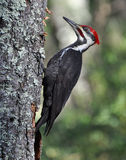 Pileated Woodpecker Stock Photos