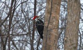 pileated woodpecker Стоковые Фото