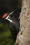 Pileated Woodpecker. A red-headed pileated woodpecker perches on the rough bark of a tree Royalty Free Stock Images