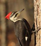 pileated woodpecker стоковые изображения rf