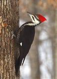 pileated woodpecker Стоковая Фотография RF