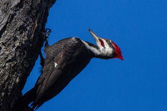 pileated woodpecker Стоковое Фото
