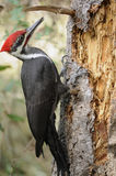Pileated Woodpecker. A wild Pileated Woodpcker, northern California coastal range Royalty Free Stock Photography