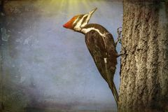 A pileated woodpecker in a abstract form. A pileated woodpecker in abstract clinging to a tree in a forest stock photography