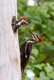 Pileated Woodpecker With Baby Royalty Free Stock Image