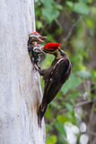 Pileated Woodpecker With Baby Royalty Free Stock Photography