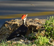 Pileated woodpecker from behind Royalty Free Stock Images