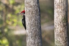 Pileated Woodpecker Okefenokee Swamp royalty free stock images