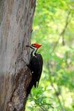 Pileated woodpecker bird Royalty Free Stock Photo