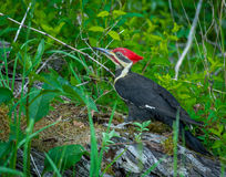 Great Smoky Mountain National Park Pileated Woodpecker in Cade's Cove. Pileated Woodpecker in Cade's Cove Great Smoky Mountain National Park stock photo