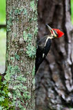 Pileated Woodpecker in Cades Cove GSMNP Royalty Free Stock Images