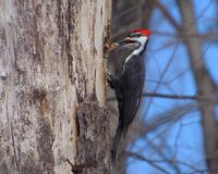 Pileated Woodpecker clearing wood stock photos