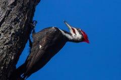 Pileated Woodpecker Stock Photo