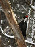 Pileated Woodpecker digging in a downed tree. In a winter snowstorm the loud calling of a Pileated warned other birds he was near. She kept pecking at the tree royalty free stock photography
