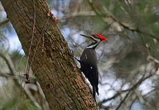 Pileated Woodpecker (Dryocopus pileatus) Stock Images