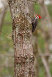 Pileated Woodpecker Stock Images