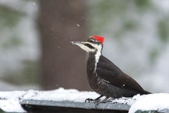 Pileated Woodpecker Dryocopus pileatus. Big black woodpecker with red crown, lands on a feeding platform in woodland snow. Royalty Free Stock Image