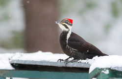 Pileated Woodpecker Dryocopus pileatus. Big black woodpecker with red crown, lands on a feeding platform in woodland snow. Stock Photography