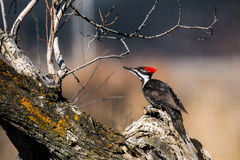 Pileated Woodpecker (Dryocopus pileatus) Stock Photos
